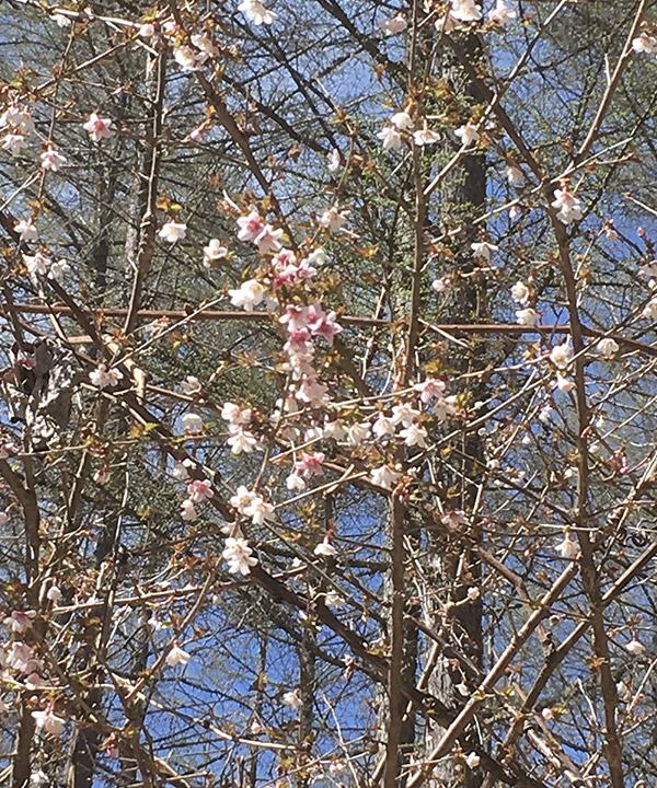 写真:山の桜