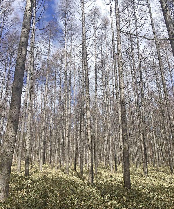 写真:長野の白樺林