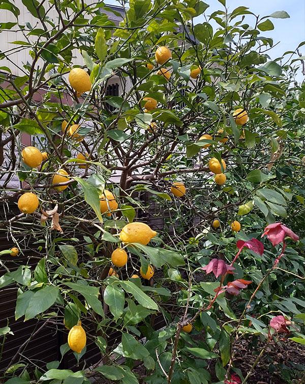 実家の庭で実ったレモン